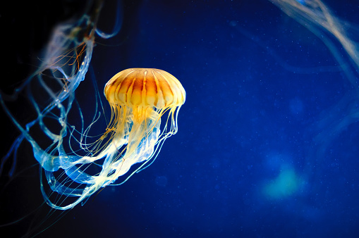 Orange jellyfish or Chrysaora fuscescens on blue 649025428