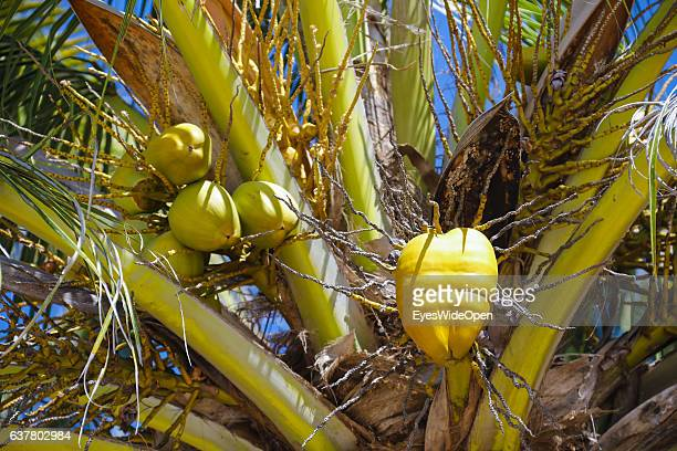 Orange King coconut on a palmtree on December 14 2016 in Thandwe Ngapali Beach Myanmar