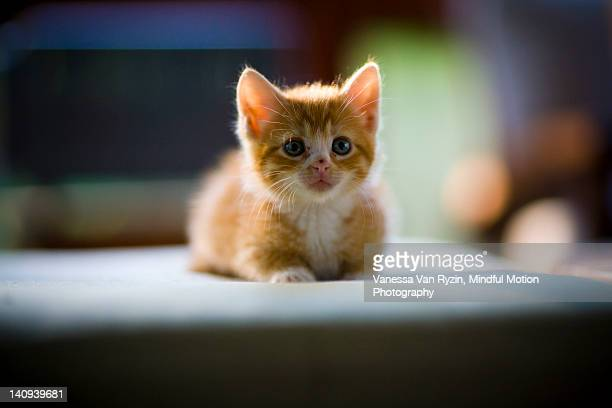 orange kitten sitting - vanessa van ryzin stockfoto's en -beelden