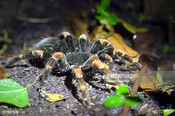 Orange knee tarantula close up, at night, Costa Rica