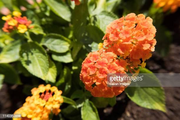 Orange Lantana Camara flower.