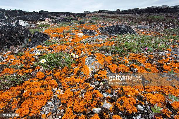 orange lichens, nunavut, canada - tundra stock pictures, royalty-free photos & images