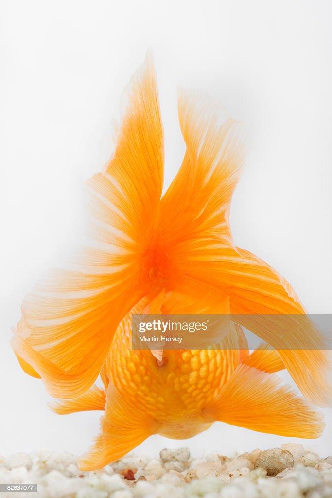 Orange lionhead goldfish : Bildbanksbilder