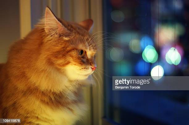 Orange, Long-haired Cat Staring Out Window