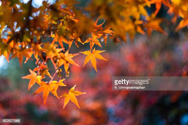 Orange maple leaves with background in South Korea
