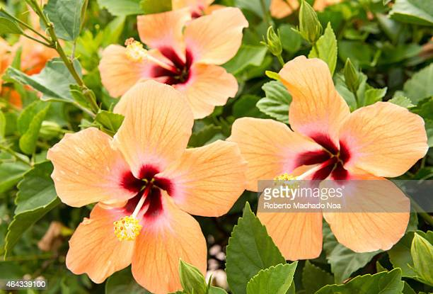 Orange Mar Pacifico flower or Hibiscus in a large garden in a tropical country