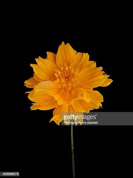 Orange marigold on black