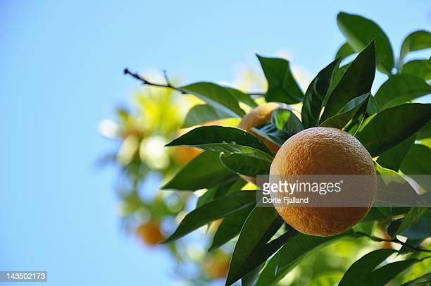 orange on tree against blue sky - dorte fjalland stock pictures, royalty-free photos & images