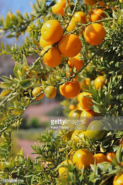 orange on tree - san marino california stock pictures, royalty-free photos & images