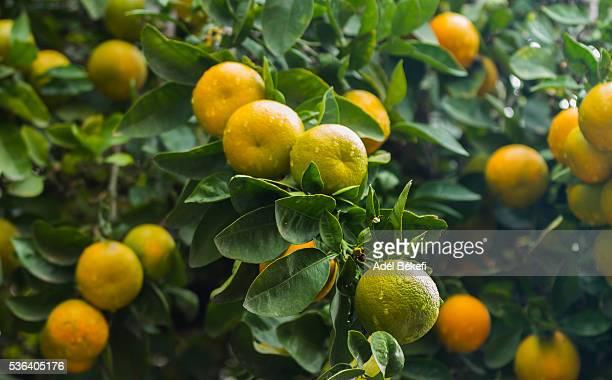 orange on tree