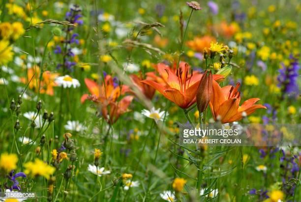 Orange or tiger lily Dolomites TrentinoAlto Adige Italy