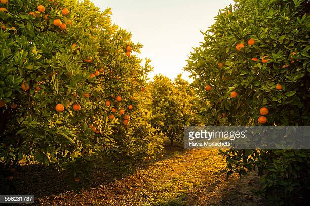 orange orchard at sunset - orange orchard stock photos and pictures