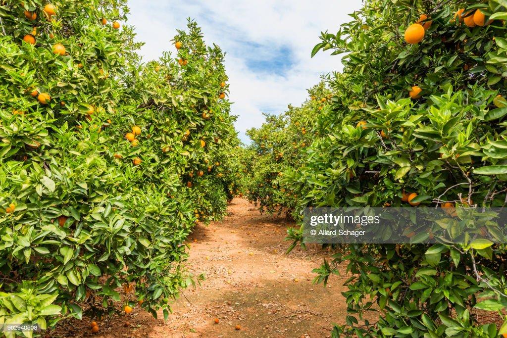 Orange Orchard in Alzira Spain : Stock Photo