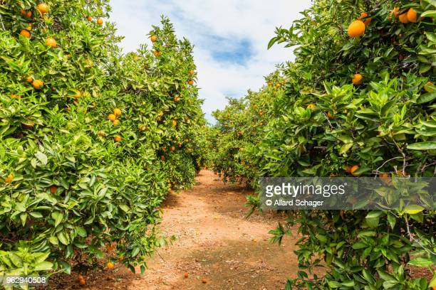 orange orchard in alzira spain - orange orchard stock photos and pictures