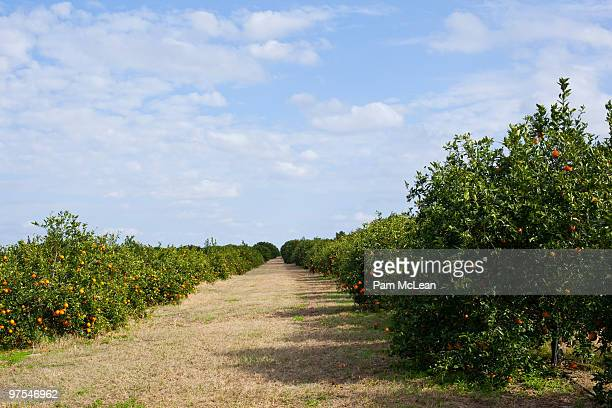 orange orchard - orange grove stock photos and pictures
