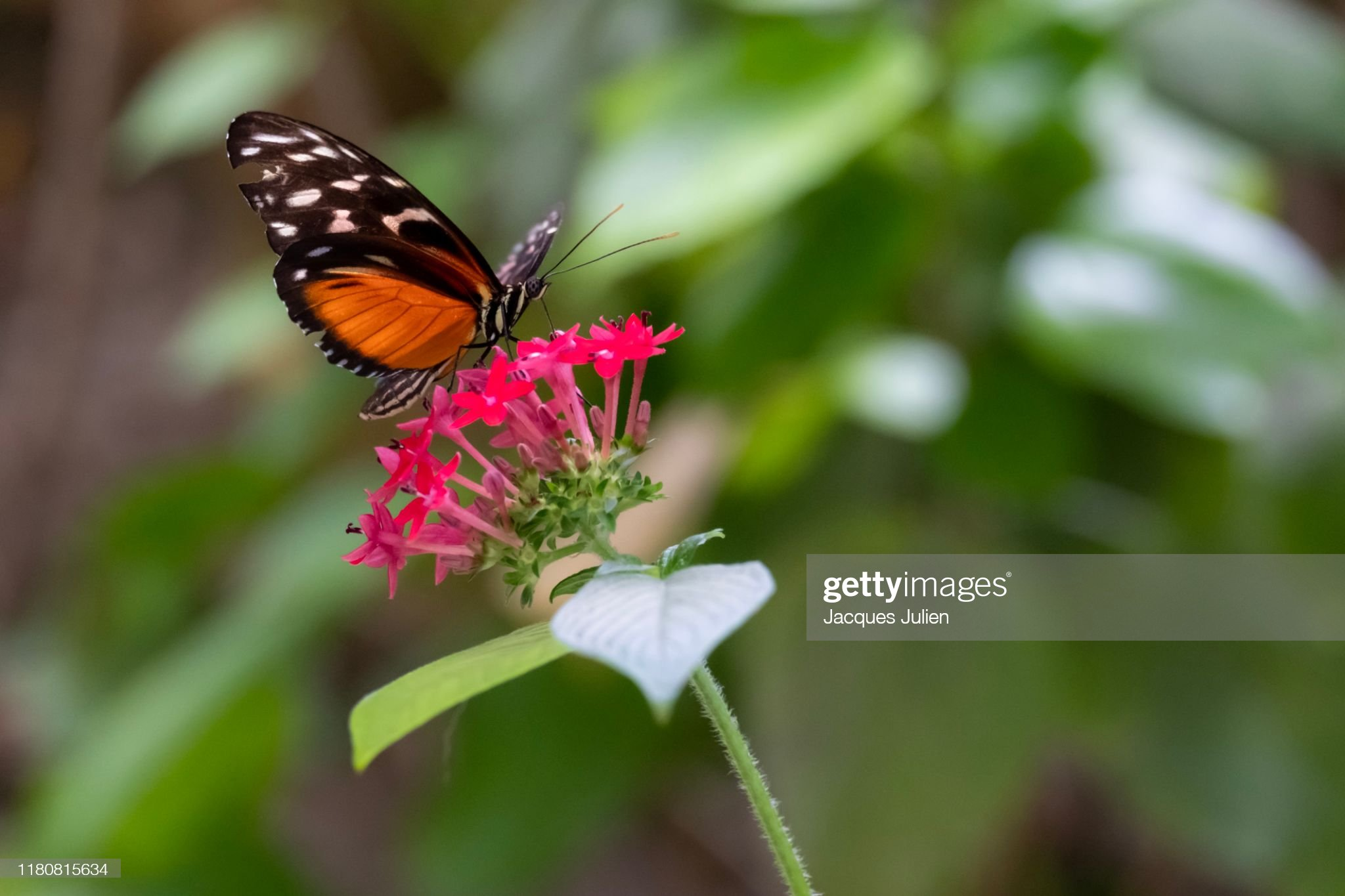 Orange Painted Lady butterfly (Vanessa cardui) on a flower : Photo