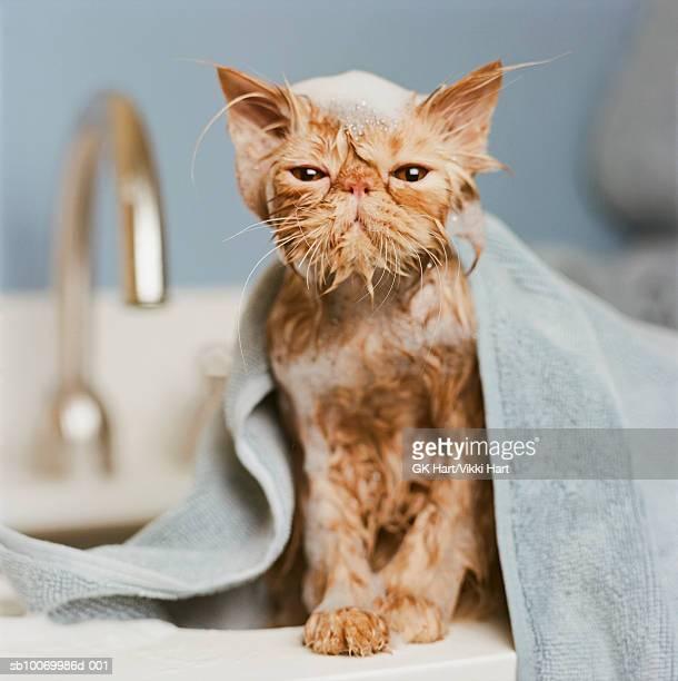 orange persian cat  under towel - nass stock-fotos und bilder