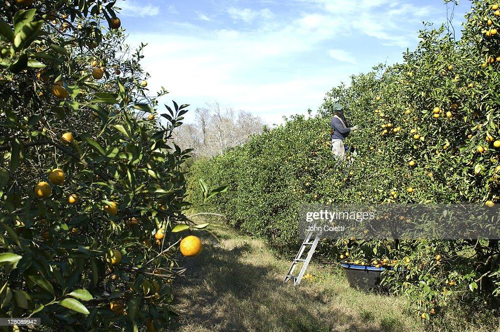 Orange picker in grove, Immokalee, Florida : Stock Photo
