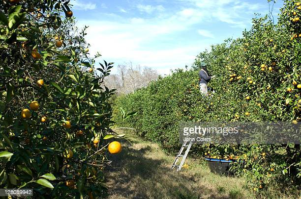 orange picker in grove, immokalee, florida - orange orchard stock photos and pictures