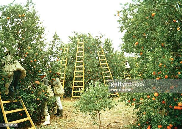 Orange pickers at industrial orchard