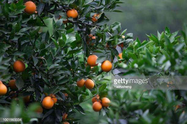 orange plant garden - orange farm - fotografias e filmes do acervo