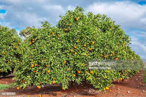orange plantation near griffith - orange orchard stock pictures, royalty-free photos & images