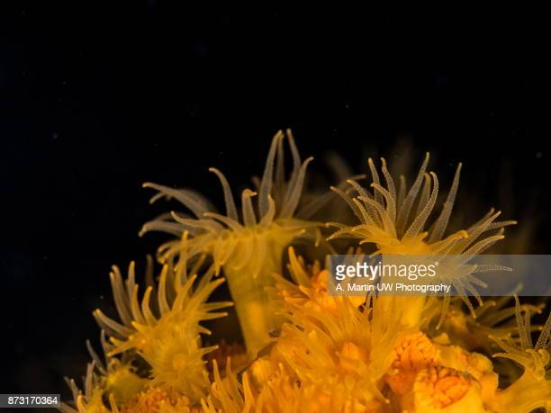 orange polyp - cnidarian stock photos and pictures