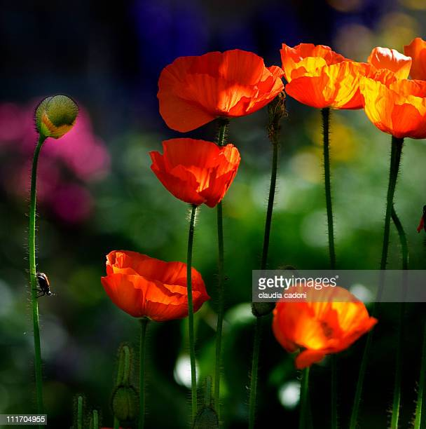 orange poppies with a little insect - one animal stock pictures, royalty-free photos & images