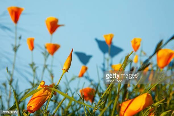 orange poppy flower field on aqua background - san rafael california stock pictures, royalty-free photos & images