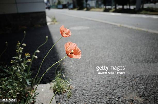 Orange Poppy Flowers At Roadside