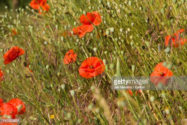 orange poppy flowers blooming on field - mertens stock pictures, royalty-free photos & images