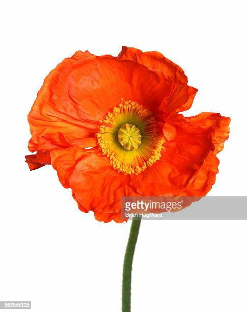 orange poppy - poppy stock pictures, royalty-free photos & images