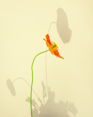 Orange Poppy with Strong Shadow - gettyimageskorea
