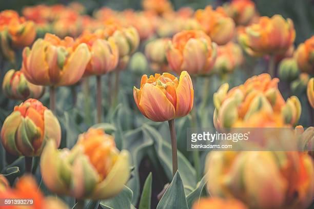 Orange Princess Tulips