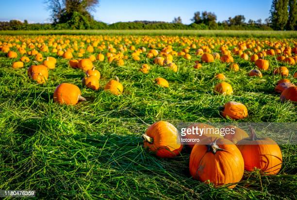 orange pumpkin patch field in richmond bc canada. - pumpkin harvest stock pictures, royalty-free photos & images