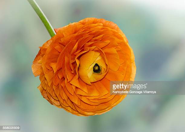 orange ranunculus - nancybelle villarroya stock photos and pictures