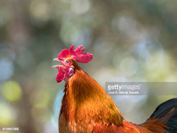 orange, red and black rooster of colors, breed of natural form and at liberty in the field. island of terceira, azores, portugal. - gallo foto e immagini stock