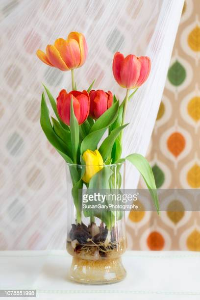 orange red and yellow fresh tulips in clear glass vase - blumenzwiebel stock-fotos und bilder