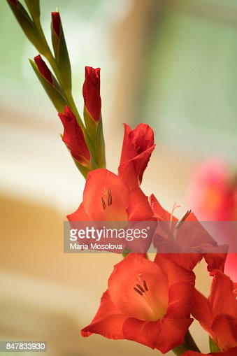 Orange red gladiolus flower summer garden stock photo getty images mightylinksfo
