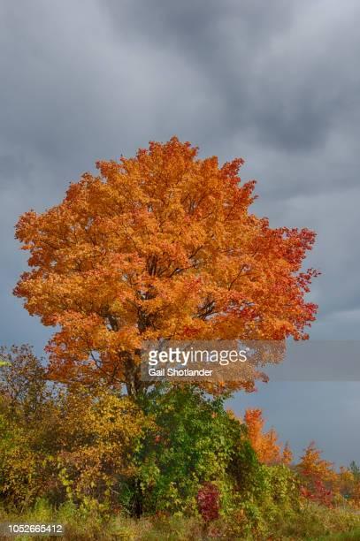 Orange Red Maple Tree