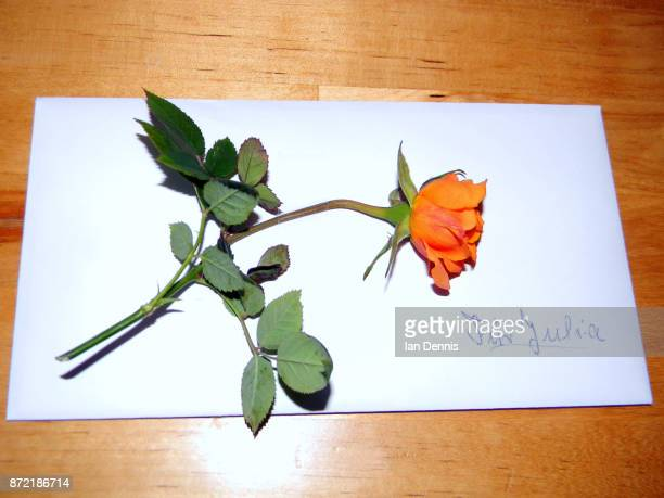orange rose for julia - julia rose stock photos and pictures