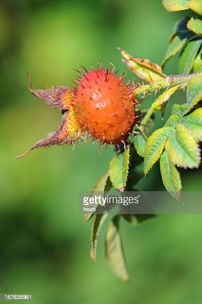 orange rose hip-rose petals