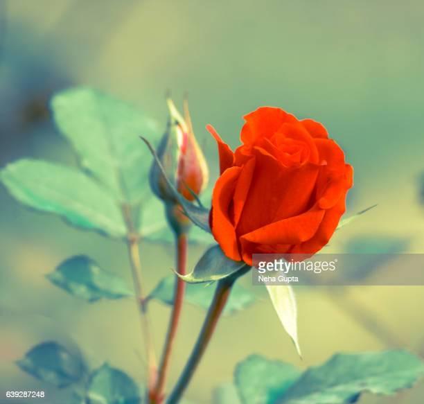 orange rose - neha gupta stock pictures, royalty-free photos & images