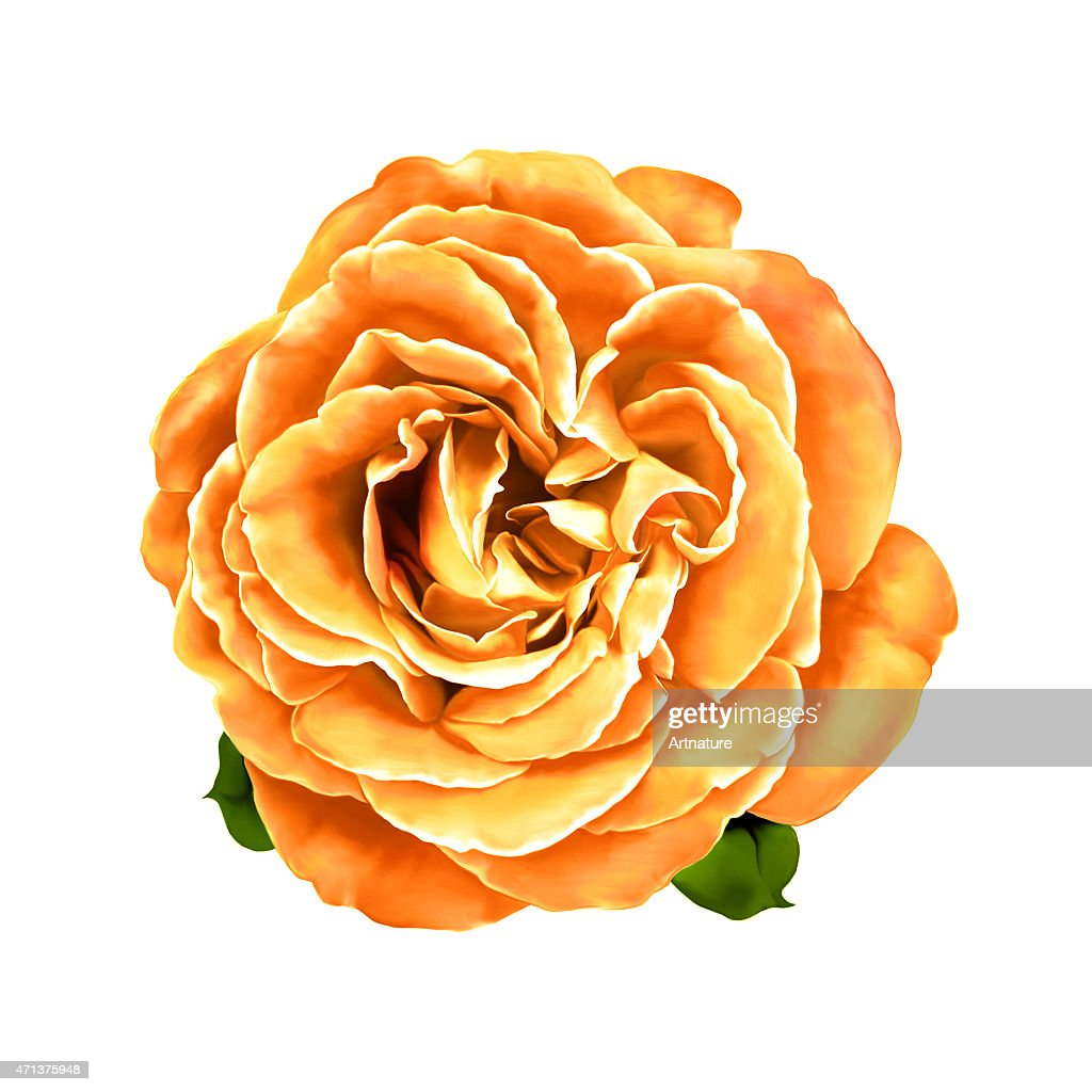 Orange Rose With Little Leaves Spring Flower Isolated On White Stock