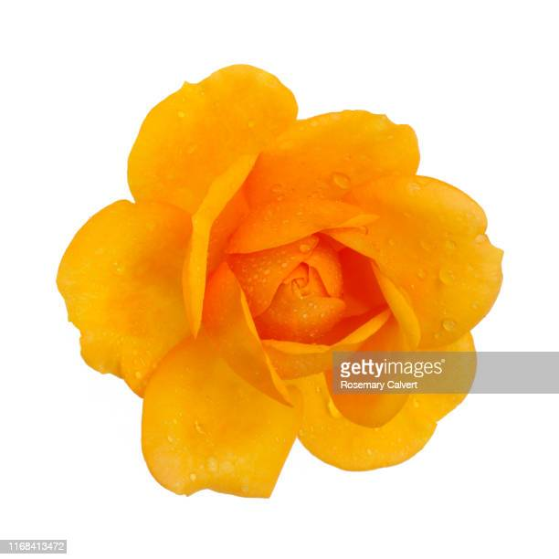 orange rose with water drops, close-up from above, on white. - white background stock pictures, royalty-free photos & images