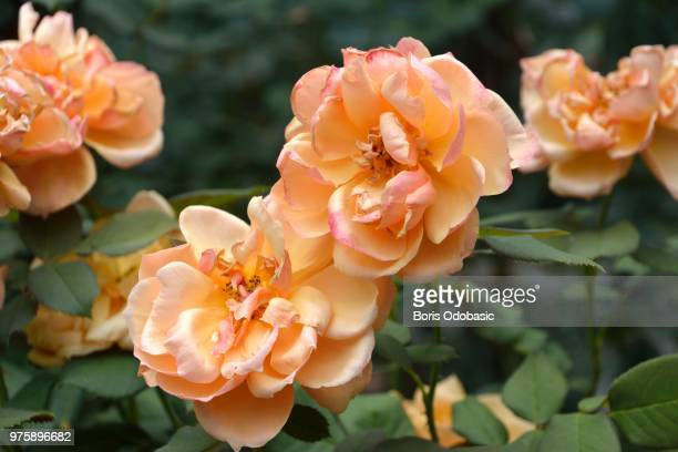 orange roses - boris stock photos and pictures