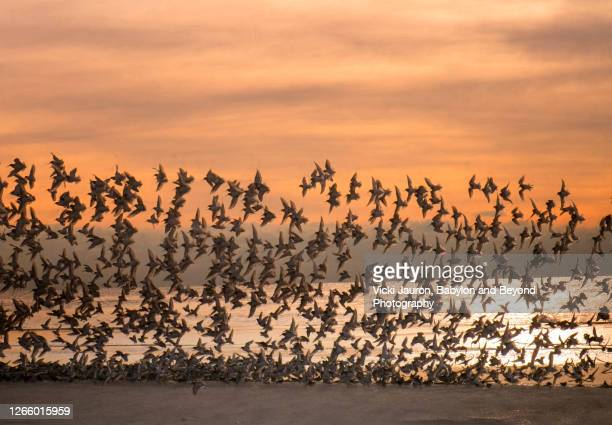 orange sky at sunrise with amazing flock of birds at jones beach - wantagh stock pictures, royalty-free photos & images