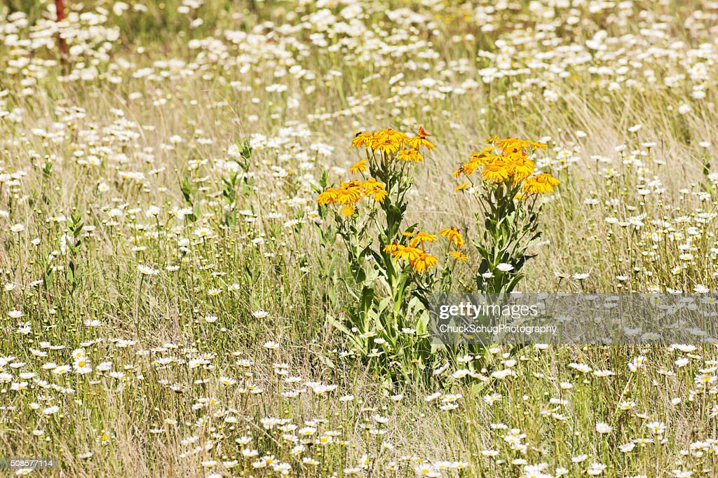 Orange Sneezeweed Hymenoxys hoopesii Daisy Wildflower : Stock Photo