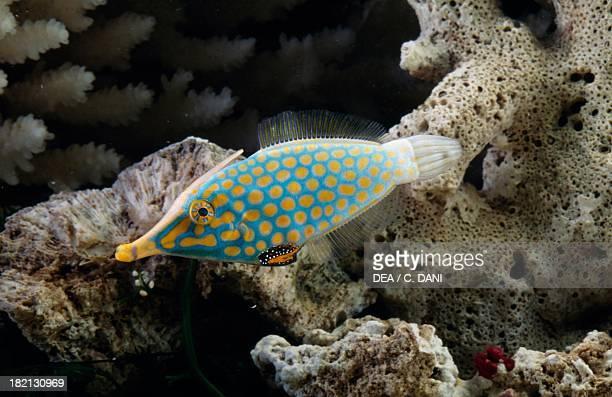 Orange spotted filefish or Harlequin filefish Monacanthidae in aquarium