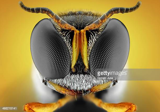 Orange square-headed wasp